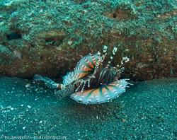 BD-090926-Lembeh-9264093-Dendrochirus-zebra-(Cuvier.-1829)-[Zebra-turkeyfish.-Zebradrakfisk].jpg